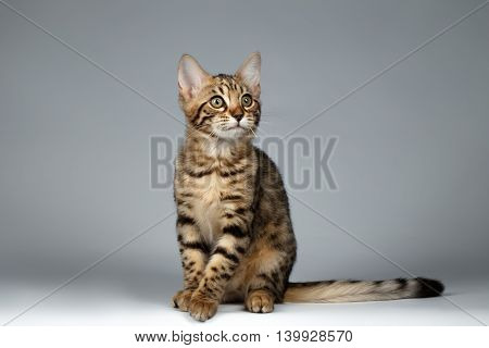 Adorable Bengal Kitty Sitting on Dark Background and Curious Looking up