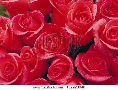 Beautiful rose closeup