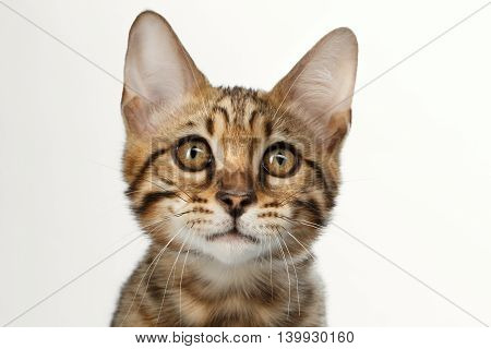 Closeup Portrait of Bengal male Kitty, Gaze Looking in Camera on White Background, Front view, Beautiful eyes