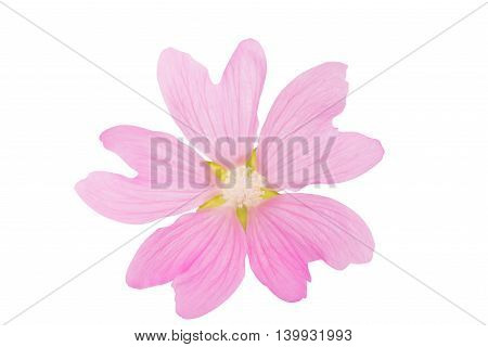pink florescence flower on a white background