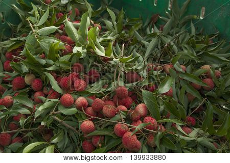 Lychee fruit fresh after it was picked