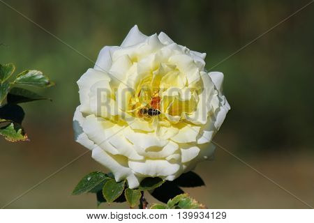 on a clear sunny day of a bee perched on white flower collecting pollen
