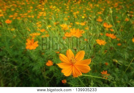 orange cosmos flowers on the blurry green background