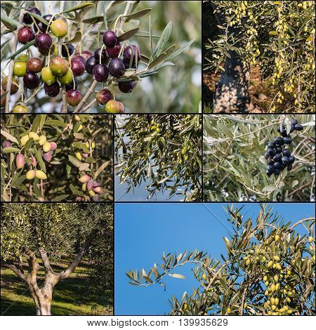 black and green olives ripening on olive tree
