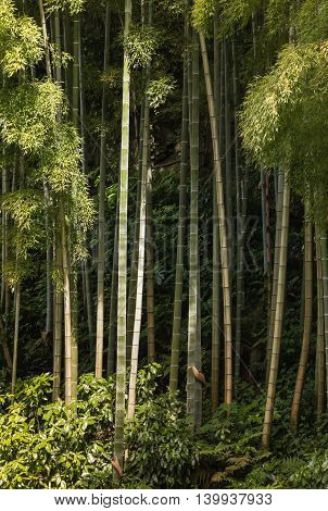 close up of bamboo stems growing in forest