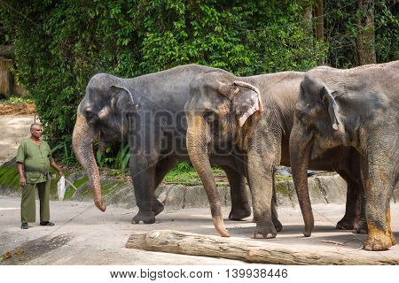 Singapore - June 25, 2016: Elephants and their trainer in the Singapore Zoo.