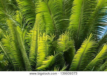 cluster of palm tree leaves against blue sky