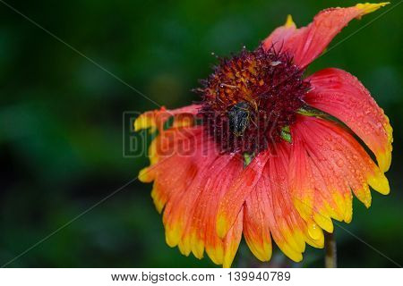 Bumblebee on a flower in the dew on a green background