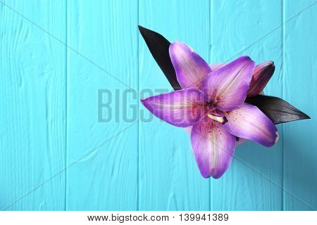 Beautiful lily on blue wooden background