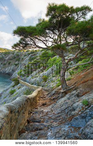 Crimean pine on Trail Golitsyn on the side of Koba-Kaya. Crimea