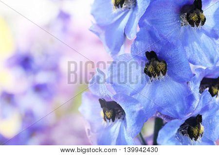 Beautiful blue delphinium flowers, close up