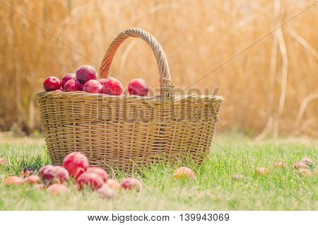 Plums in basket on natural background from the garden