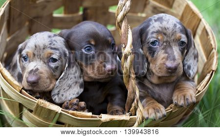 Marble Colored Puppy dachshund