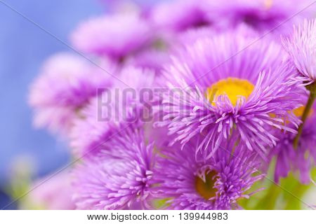 Beautiful violet daisies, close up