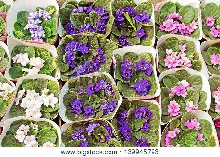 Pots of violets for sale on the market