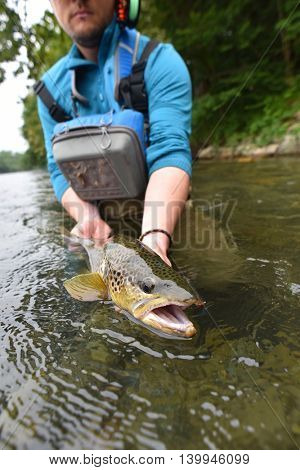 Fly fisherman holding brown trout out of water