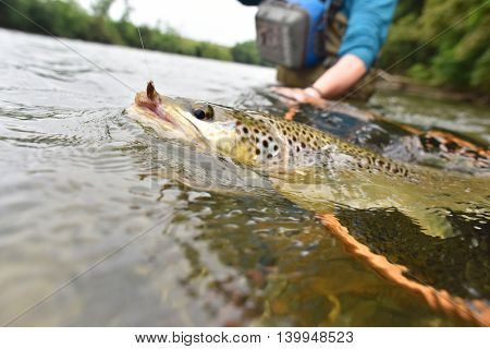 Closeup of brown trout fish being fishhooked