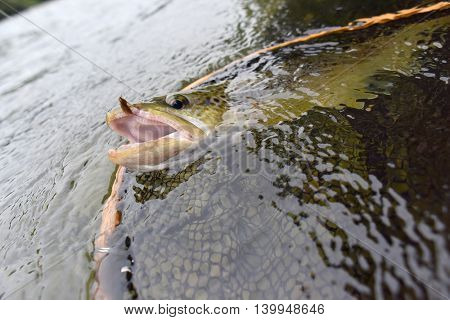 Closeup of brown trout being fishhooked