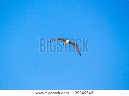 Seagull flying in the clear blue sky with open wings.