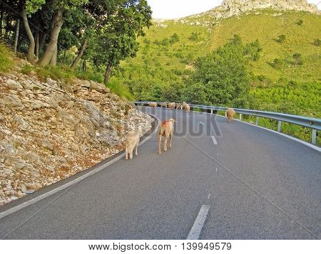 sheep on street in the mountains - trees aside