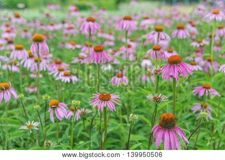 Large plantation of medicinal plants and honey plants Echinacea Purpurea outdoors