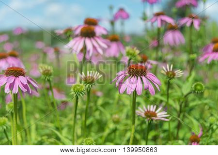 Large plantation of medicinal plants and honey plant Echinacea Purpurea outdoors against a blue sky
