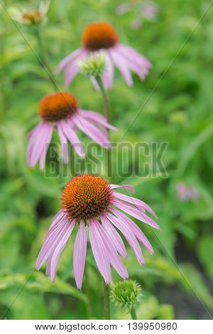 Three flowers of medicinal plant and honey plant Echinacea Purpurea closeup outdoors