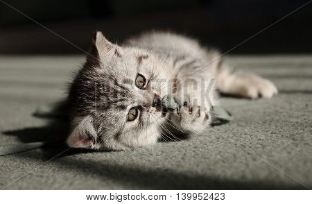 Small kitten is lying on the carpet and plays with string