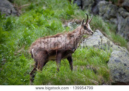 Old chamois - Rupicapra rupicapra in grass. High Tatras.