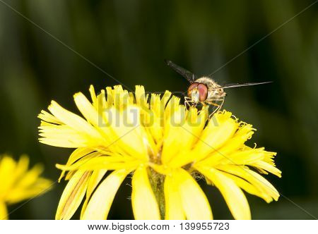 Marmalade Hoverfly Sitting on Flower close up.