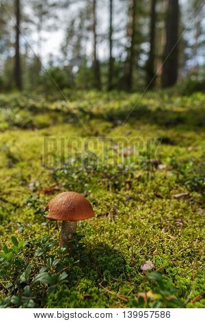 Forest Landscape With Moss And Mushrooms