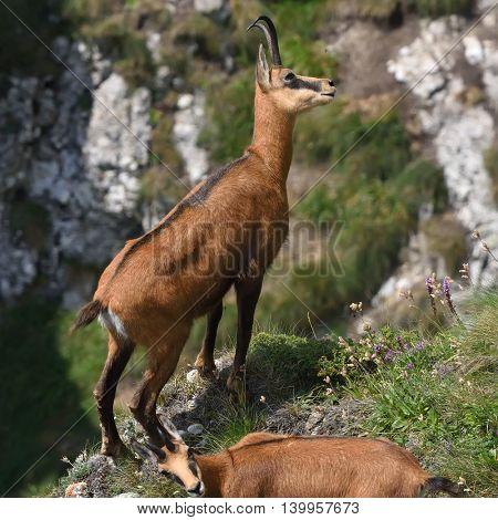 chamois (rupicapra rupicapra) in natural habitat