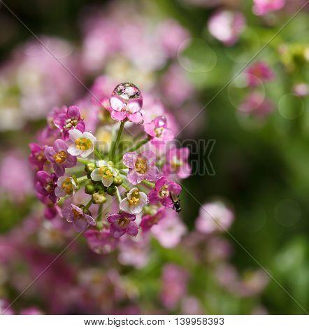 Alyssum Inflorescence