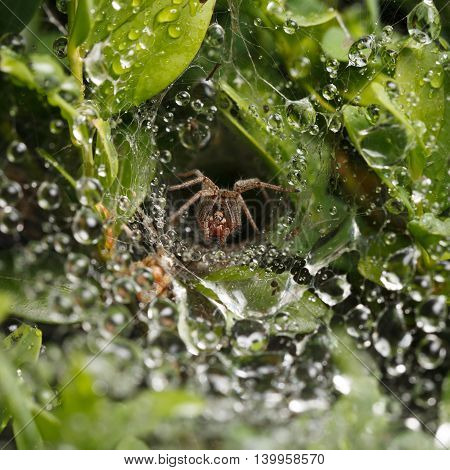 Macro of spider en face in nest hidden in leaves drops on web after rain