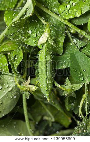 Close-up of ripe green pea pod on farm after the rain