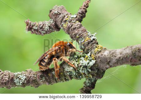 Honeybee On Old Tree Twig
