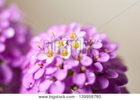 Pink Inflorescence