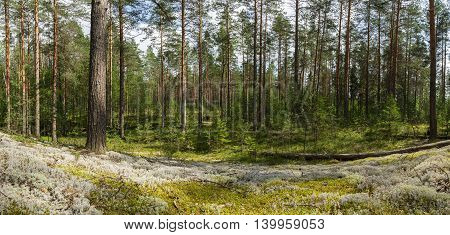 panorama pine forest with undergrowth and moss