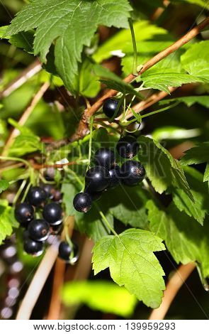 ripe black currant berries on a branch in the garden. Black currant. Orchard. Fresh healthy berries. Berry background