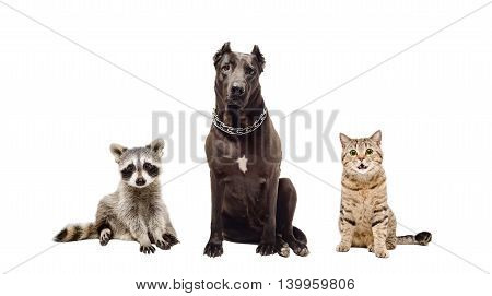 Dog, cat  and raccoon sitting together isolated on white background