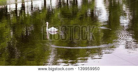Swan and circles on the water. Summer Garden, St. Petersburg.