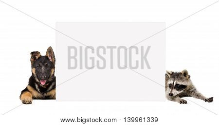 German Shepherd puppy and raccoon lying behind a banner isolated on white background