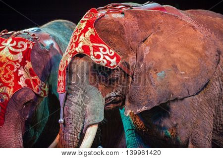 circus elephant on black background portrait close up