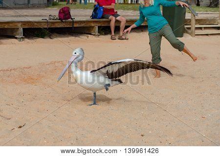 Pelican Close Up Portrait On The Beach