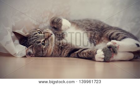 Striped cat with white paws lies on a floor