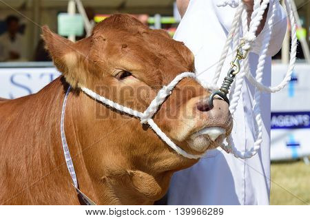 TENDRING SHOW ESSEX 11 JULY 2015: Cow being Exhibited at Agricultural show