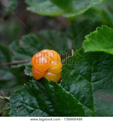 Ripe berry cloudberry yellow hiding among leaves in shade of tree, closeup