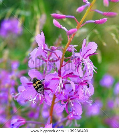 Beautiful large yellow-black color beetle feeds on nectar of flowers fireweed. Apply blur effect, сloseup