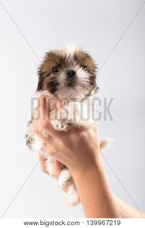 Little cute shih tzu puppy in the woman's hand isolated on white background
