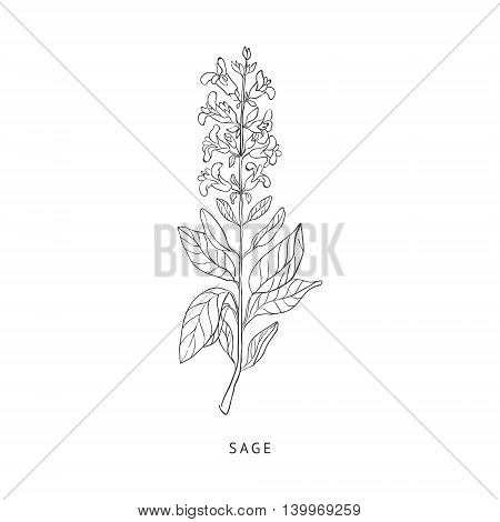 Sage Medical Herb Hand Drawn Realistic Detailed Sketch In Beautiful Classic Herbarium Style On White Background